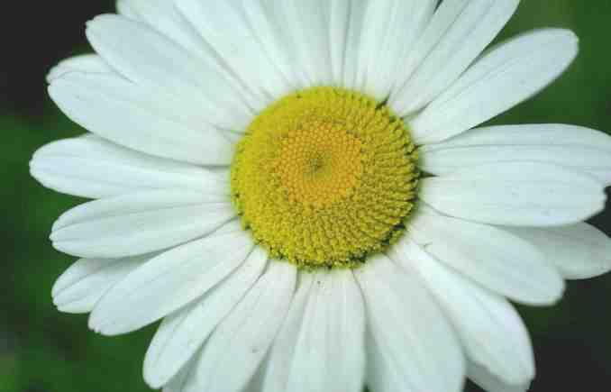 margarita-flor.jpg